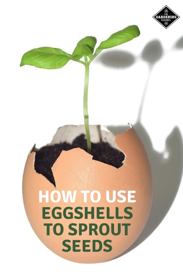 seedling in eggshell with text overlay how to use eggshells to sprout seeds