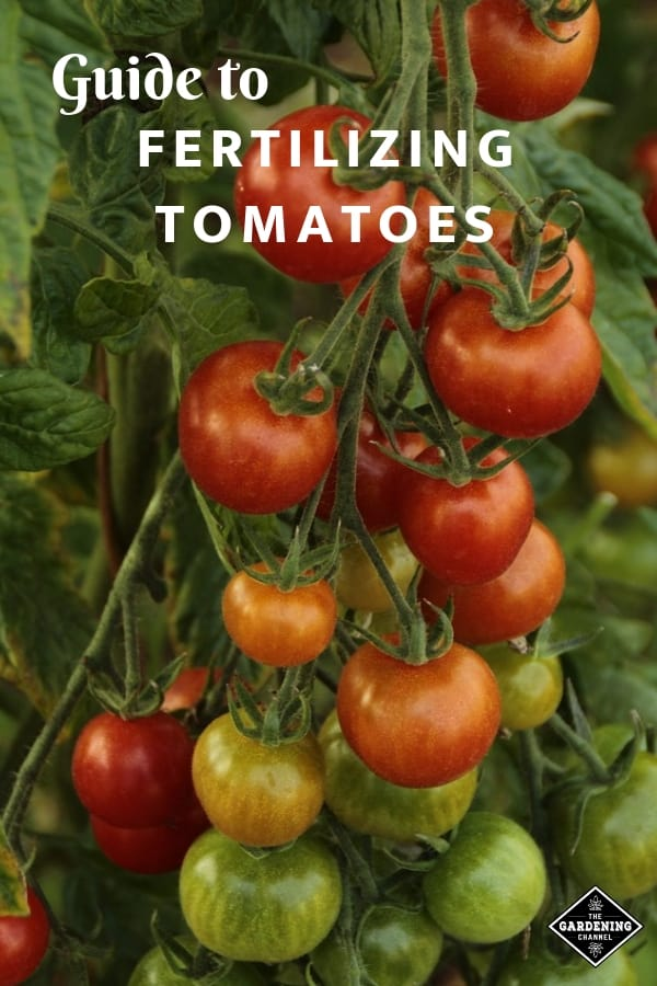 tomatoes in garden with text overlay guide to fertilizing tomatoes