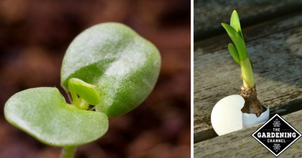 growing seeds in eggshells