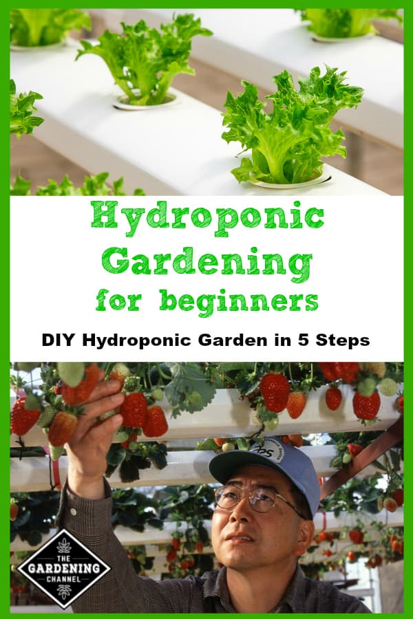 hydroponic lettuce and gardener picking hydroponic strawberries with text overlay hydroponic gardening for beginners diy hydroponic garden in five steps
