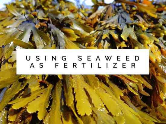 Using seaweed as fertilizer