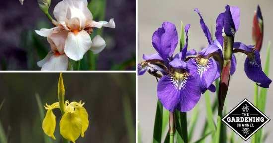 How to Avoid Common Iris Problems