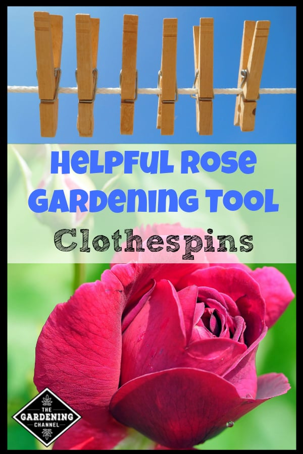 clothepins on clothesline and close up of rose with text overlay helpful rose gardening tool clothespins