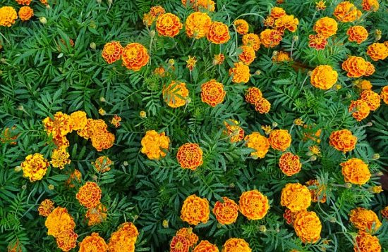 planting fall marigolds