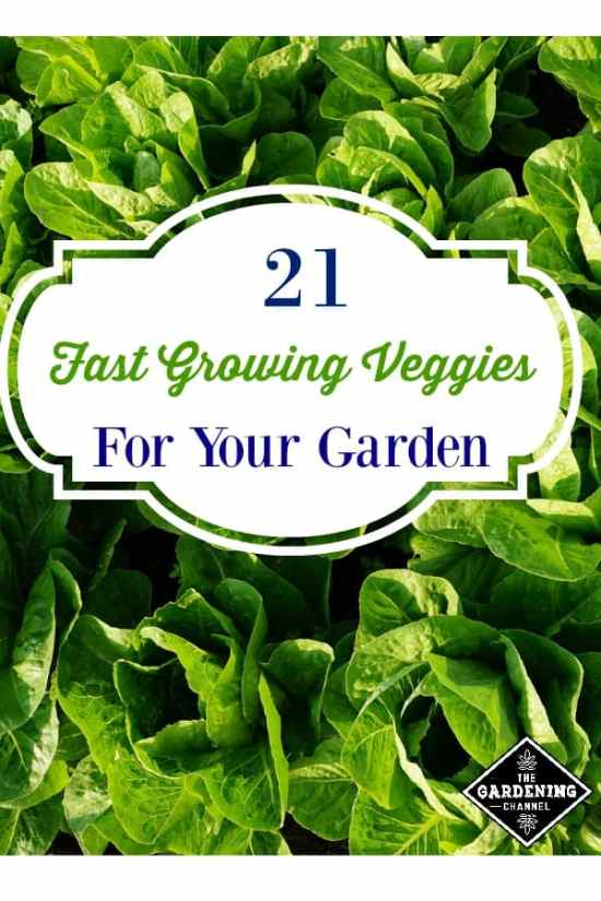 fast growing vegetables