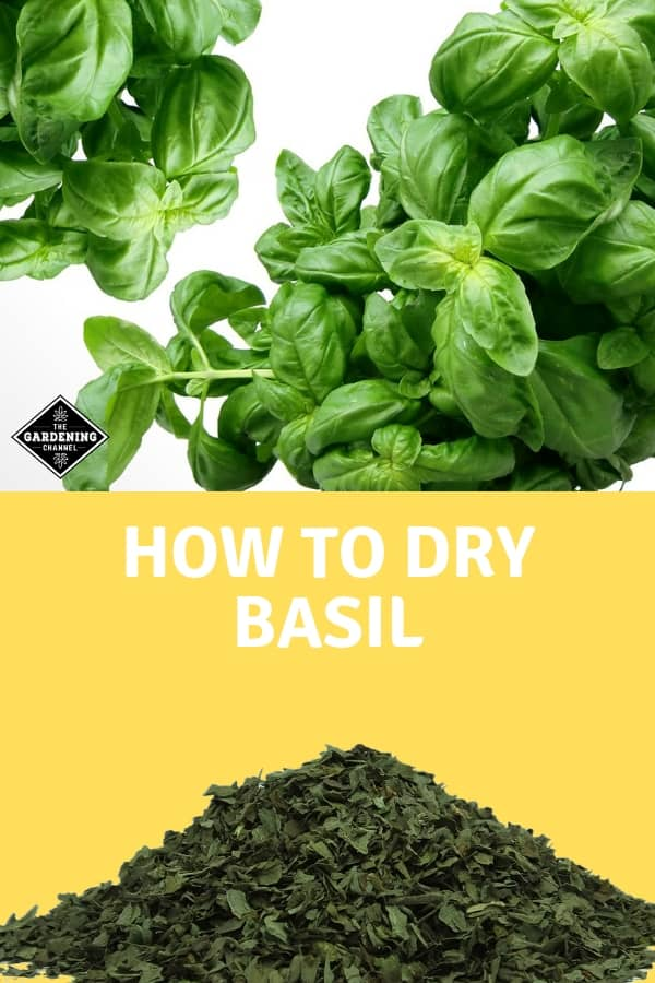 fresh basil and dried basil with text overlay how to dry basil