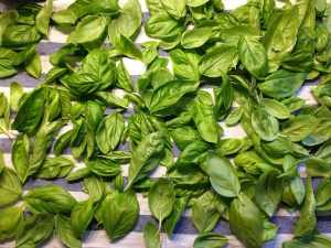 how to dry garden basil