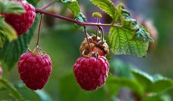 Protecting Strawberries and Raspberries in Winter