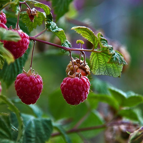 Protecting raspberries