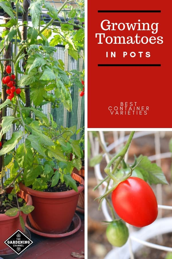 patio potted tomatoes container tomatoes with text overlay growing tomatoes in pots best container varieties