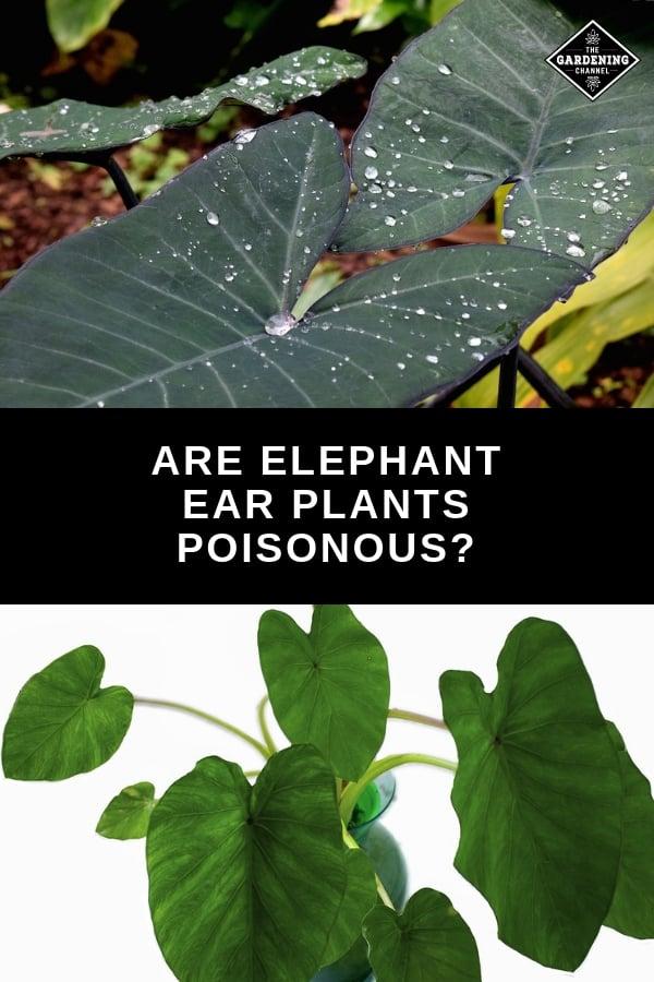 Dwarf Elephant Ear Plant