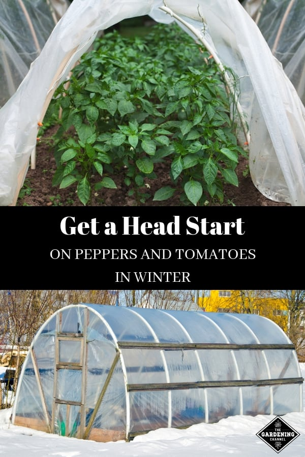 hoop house with peppers and winter greenhouse with text overlay get a head start on peppers and tomatoes in winter