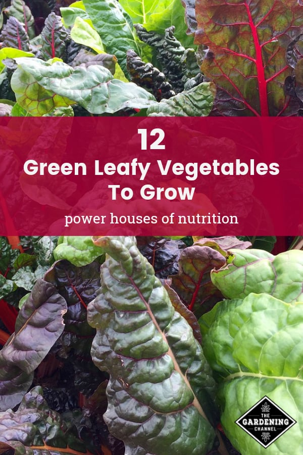 swiss chard with text overlay 12 green leafy vegetables to grow power houses of nutrition