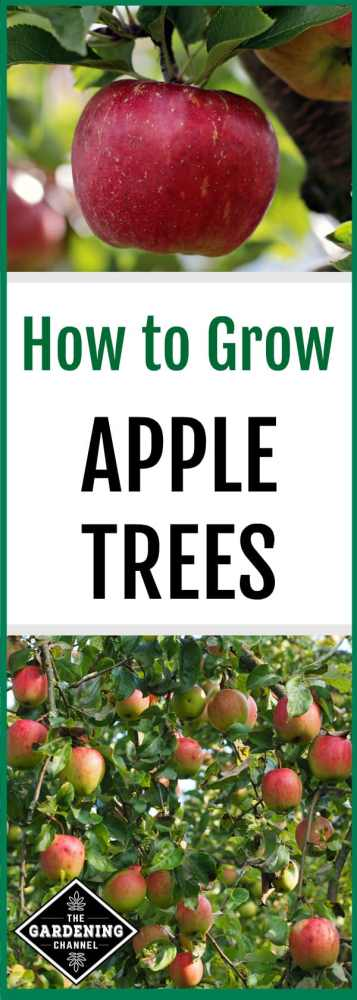 close up apple and apple tree with text overlay how to grow apple trees