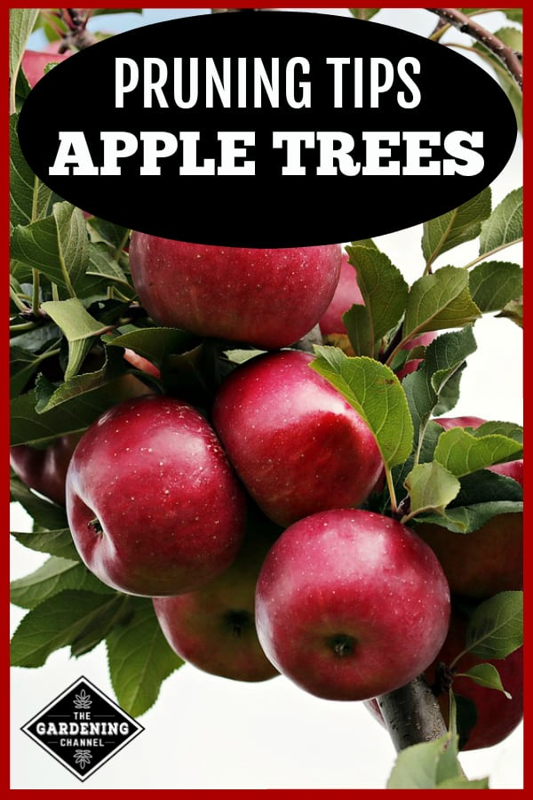 apple tree limb with ripe apples with text overlay pruning tips apple trees