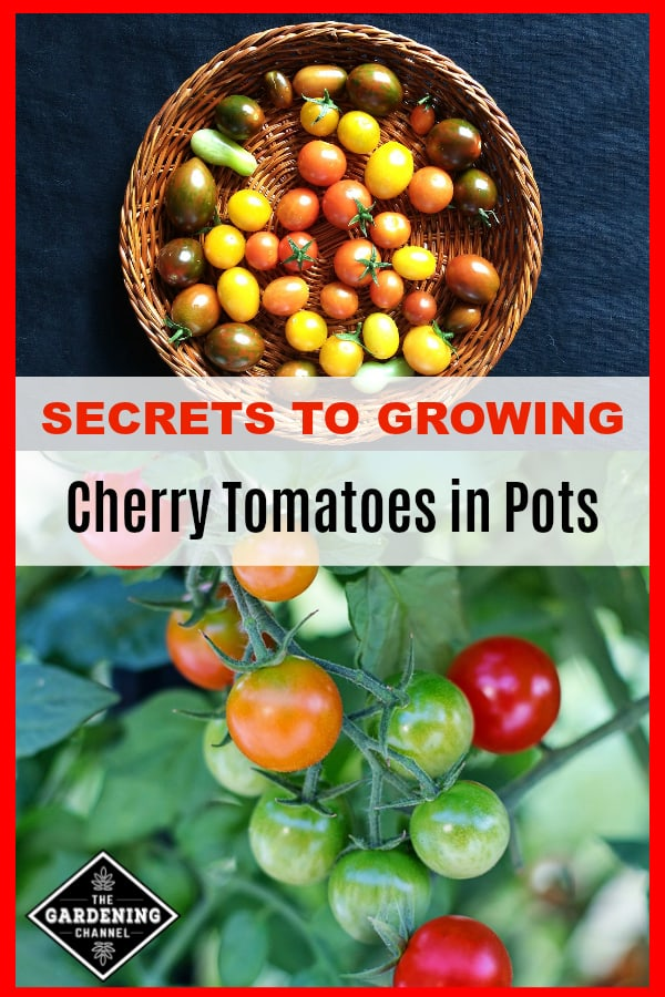 harvested cherry tomatoes and cherry tomatoes growing with text overlay secrets to growing cherry tomatoes in pots