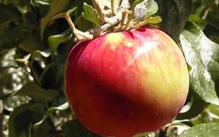 Snow Apple Tree: History and Resources