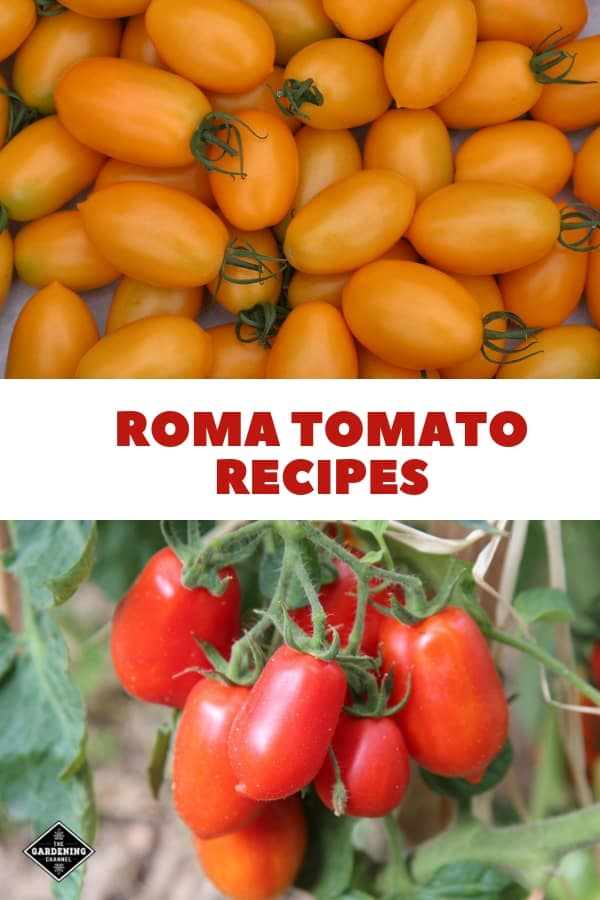 yellow roma tomatoes and roma tomatoes in garden with text overlay roma tomato recipes