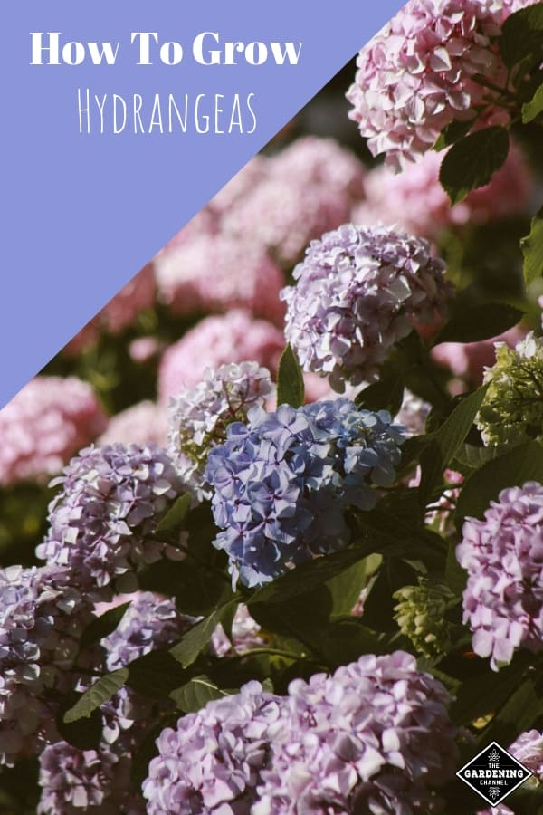 garden full of hydrangea bushes with text overlay how to grow hydrandeas