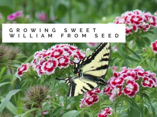 Growing Sweet William From Seeds