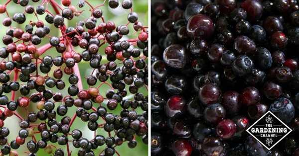 elderberry and huckleberry