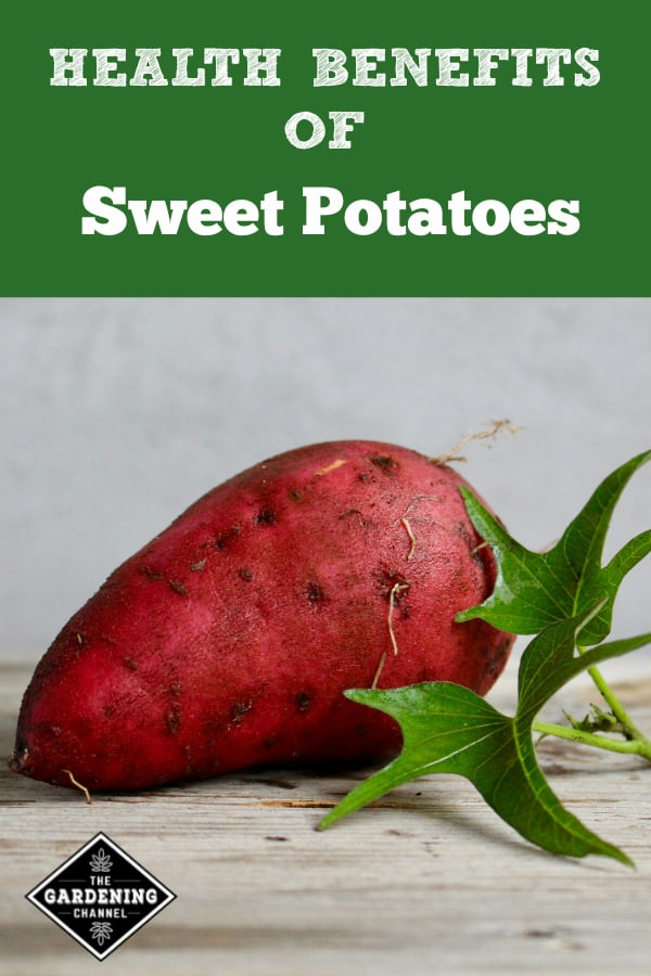 harvested sweet potato with text overlay health benefits of sweet potatoes
