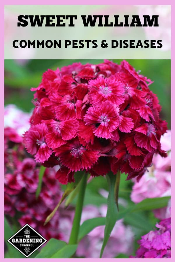 sweet william flowers with text overlay sweet william common pests and diseases