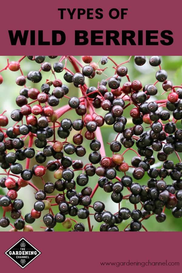 elderberry growing in wild with text overlay types of wild berries