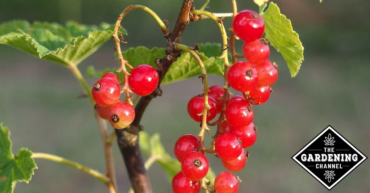 Types Of Red Berries Gardening Channel