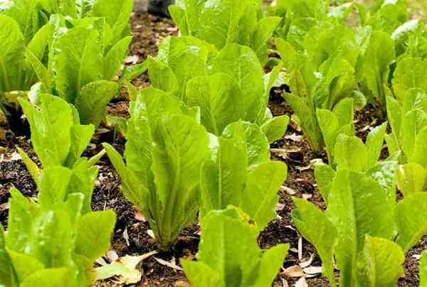 Romaine lettuce plants