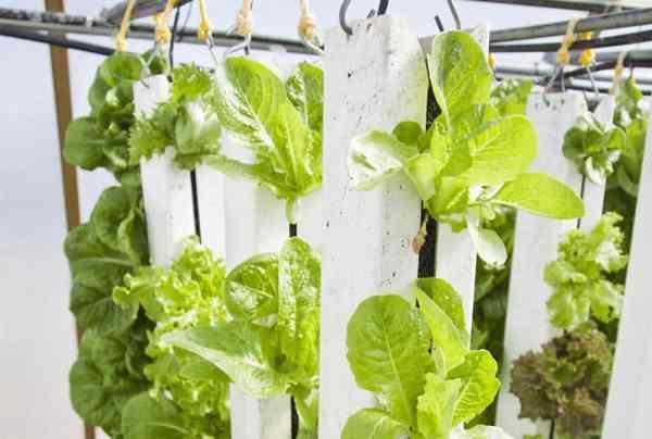 Romain lettuce vertical gardening