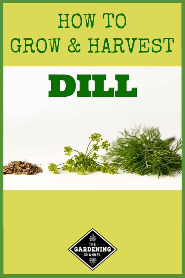 dill seeds flowers leaves with text overlay how to grow and harvest dill