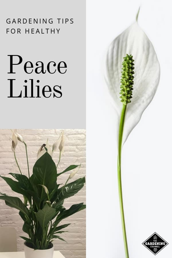 Peace Lily Care: How to Grow Peace Lily Plants Successfully at Home on peace plant care guide, aspidistra elatior cast iron plant care, prayer plant care, indoor corn plant care, dieffenbachia plant care, potted peace lily plant care, norfolk island pine indoor plant care, cat palm plant care, peace lily care in water, peace lily plant benefits, english ivy indoor plant care, lily indoor plant care, aloha lily leia plant care, calathea medallion plant care, peace lily seeds care, peace lily house plant poisonous, angel plant care, peace lily care indoors, anita bush plant care, peace lily care tips,