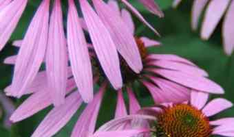 Gardening in Hot Climates: Heat Tolerant Perennials