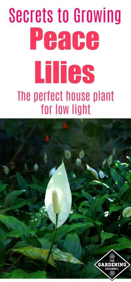 Secrets to growing peace lilies