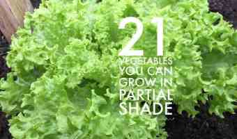 21 Vegetables that can grow in partial shade