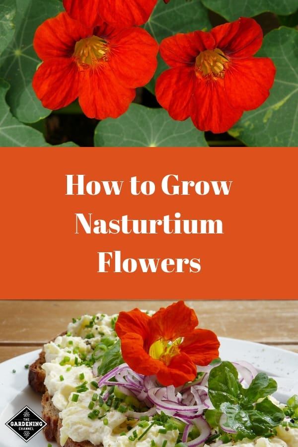 nasturtium flowers and nasturtium flowers on toast with text overlay how to grow nasturtium flowers
