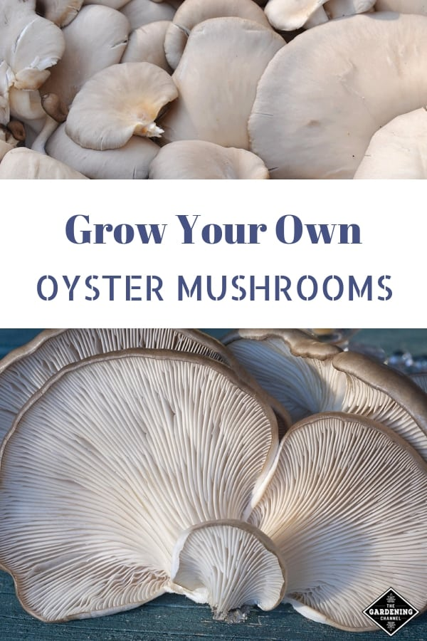 oyster mushrooms with text overlay grow your own oyster mushrooms