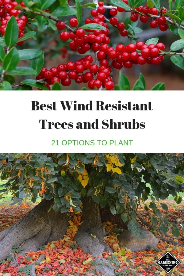 shrub and tree with stable roots with text overlay best wind resistant trees and shrubs twenty one planting options
