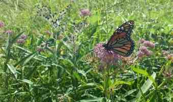 milkweed monarch butterfly