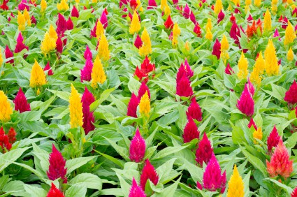 How To Grow Celosia Cockscomb Flowers Gardening Channel
