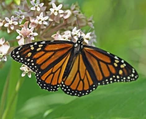 grow-milkweed-butterflies