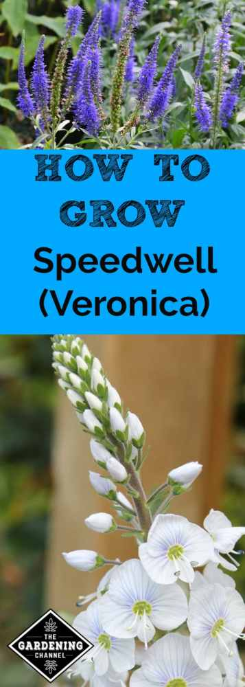 blue speedwell plant and white closeup veronica speedwell with text overlay how to grow speedwell veronica