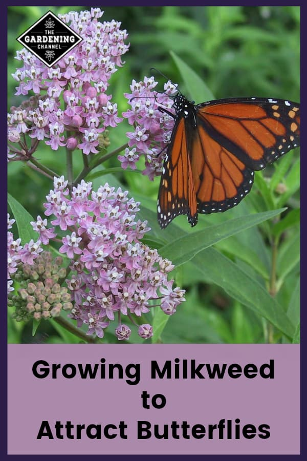 milkweed with a butterfly with text overlay growing milkweed to attract butterflies