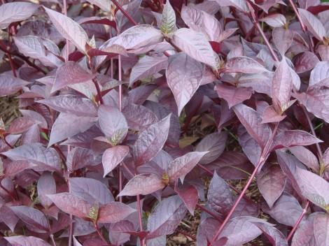 grow-potato-vine