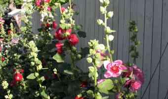 hollyhock flowers alcea