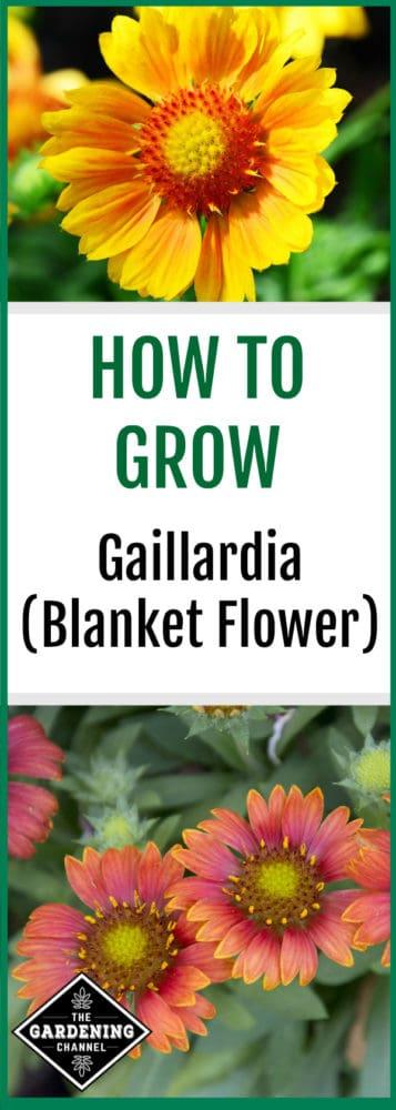 yellow Gaillardia and orange multicolored blanket flower with text overlay how to grow Gaillardia Blanket flower