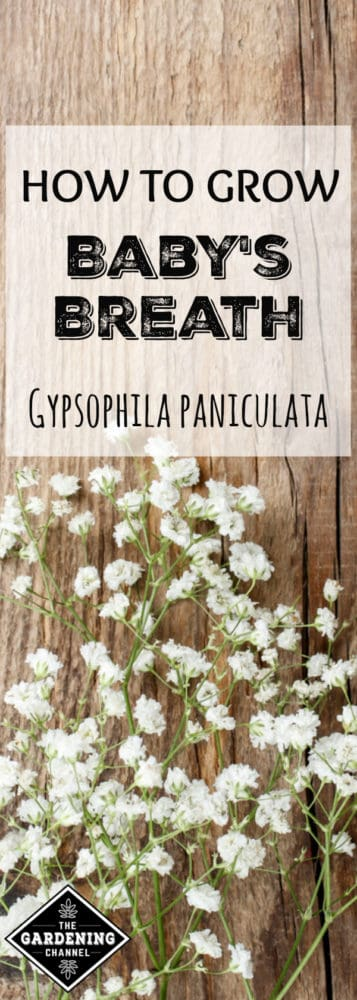 babys breath on wood with text overlay how to grow baby's breath Gypsophila paniculata
