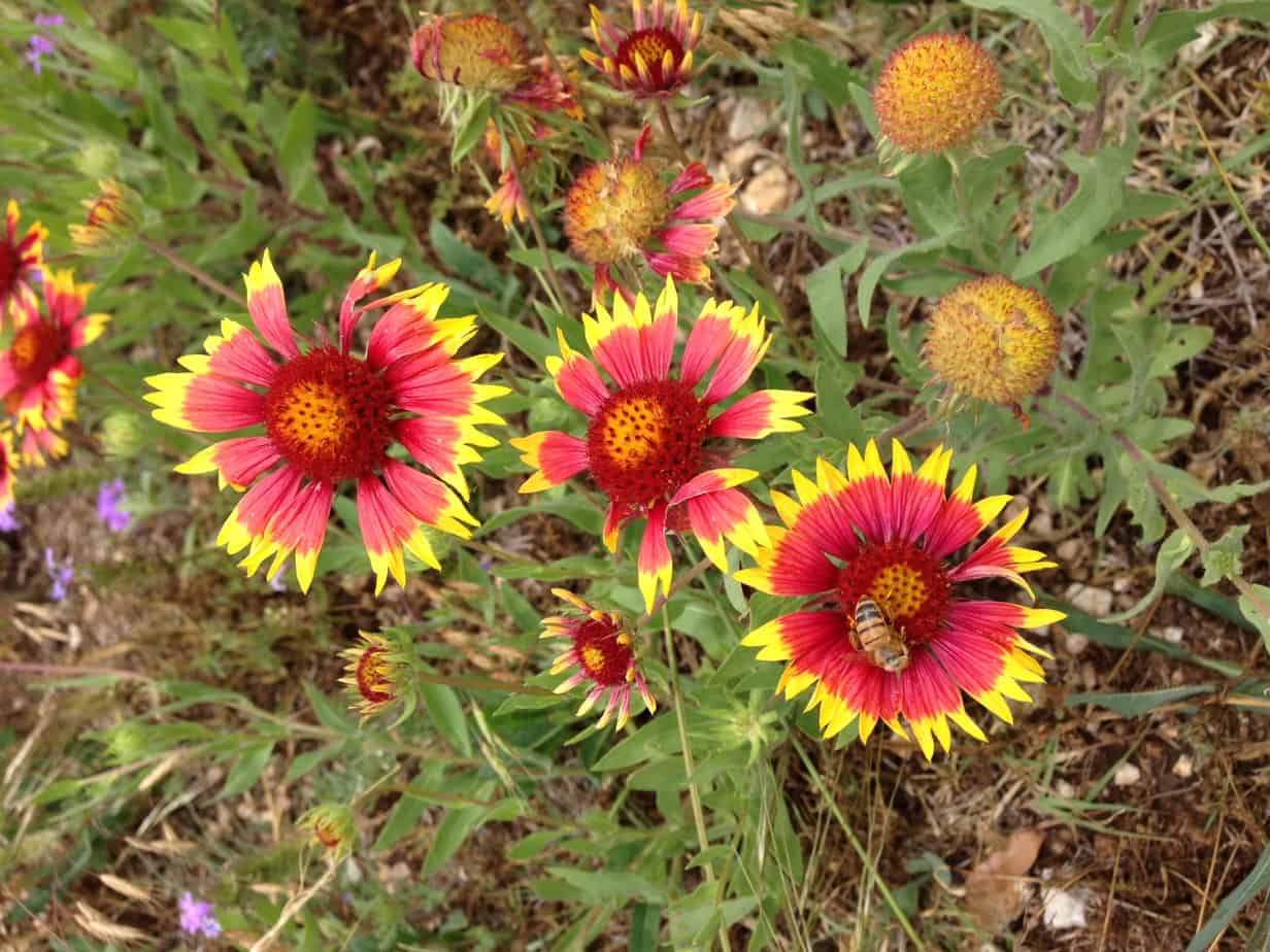 How To Grow Gaillardia Blanket Flower Gardening Channel