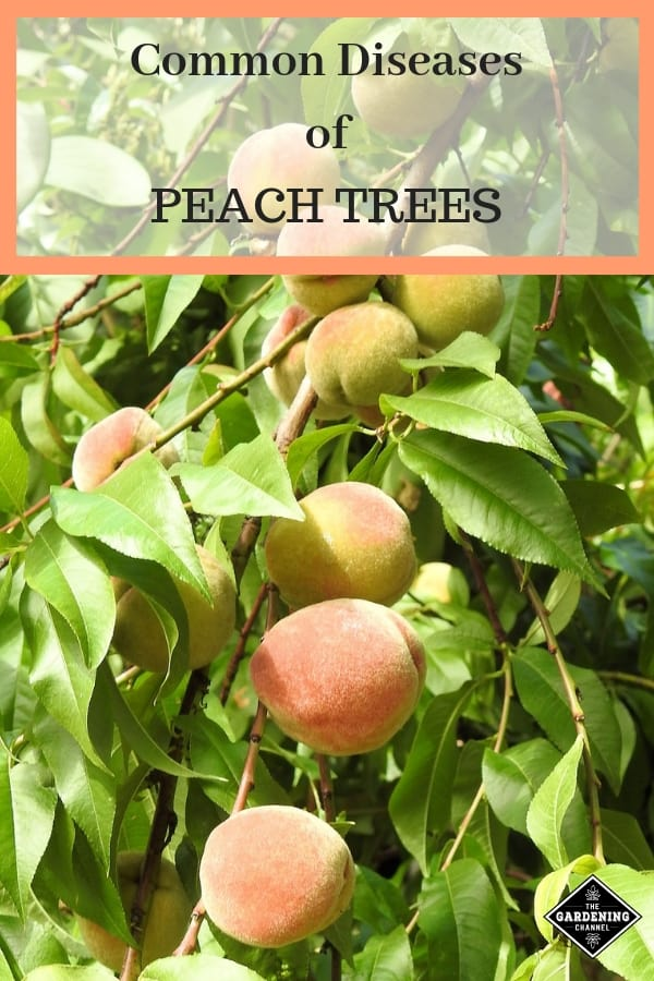 peach tree with text overlay common diseases of peach trees